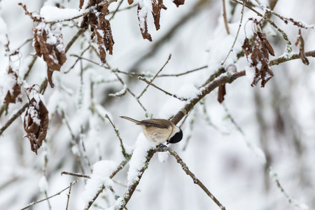 poecile palustris: Marsh tit sitting on a snowy branch