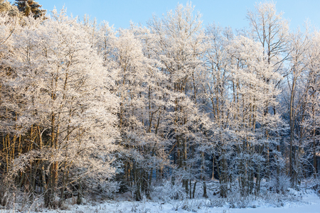 hoarfrost: Forest with hoarfrost in winter light Stock Photo