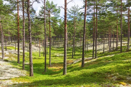 Forest with pines trees and lichen Cladonia Stellaris Stock Photo