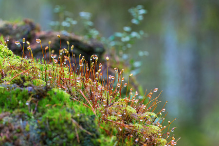 dewdrops: Moss with dewdrops growing in the forest