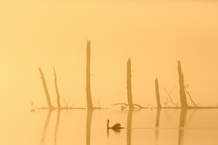treetrunk: Mute swan swimming in the morning light Stock Photo