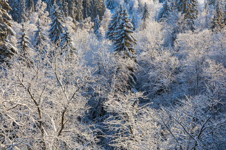 hoarfrost: Trees with hoarfrost in the woods Stock Photo