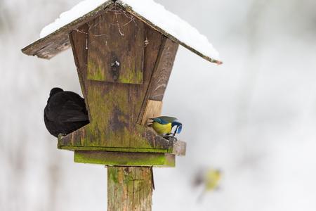 Blaumeise und Amsel auf einem Vogelfütterung
