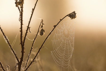 Dew on spider web on a thistle Stock Photo