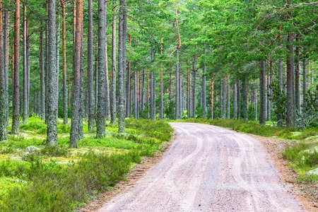 Forest road through pine forest Stock Photo