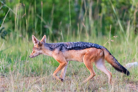 scavenger: Black-backed Jackal walk in the grass Stock Photo