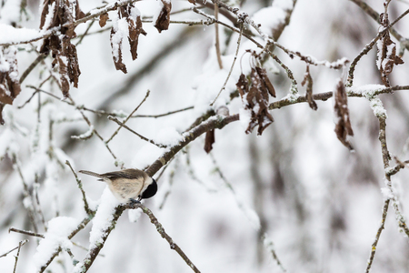 poecile palustris: Marsh tit on a snowy tree branch in the forest Stock Photo