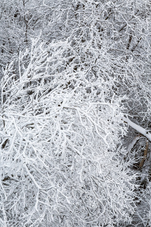 hoarfrost: Branches with hoarfrost in the forest