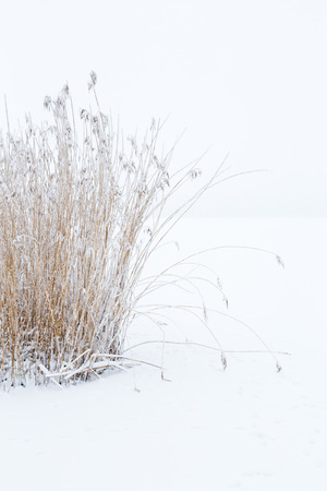 clump: Clump of reeds in the wintry landscape Stock Photo