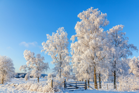 Grove of trees with frost in rural winter landscape