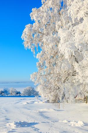 hoarfrost: Tree with hoarfrost in winter landscape