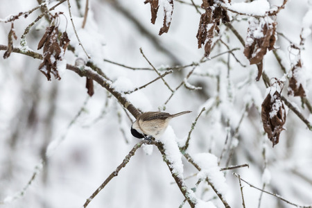 poecile palustris: Snowy tree branches with a Marsh tit