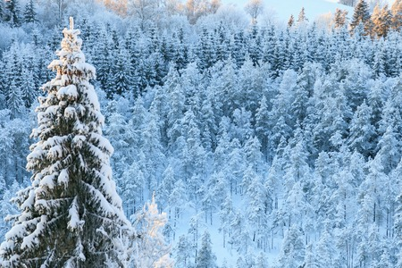 the taiga: View of the winter taiga forest