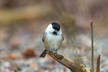 poecile palustris: Tiny marsh tit sitting on a tree branch Stock Photo