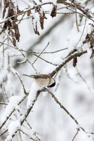 poecile palustris: Marsh tit on a snowy branch
