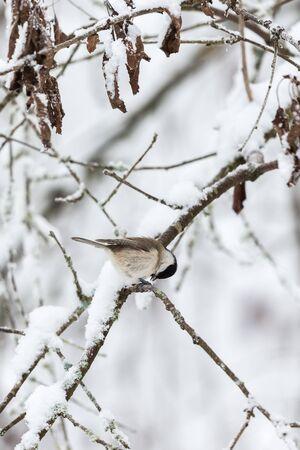 poecile palustris: Marsh tit on a snowy branch