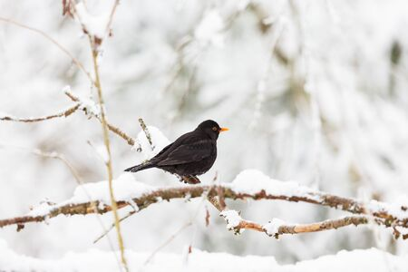 Blackbird on a branch in winter forest 版權商用圖片