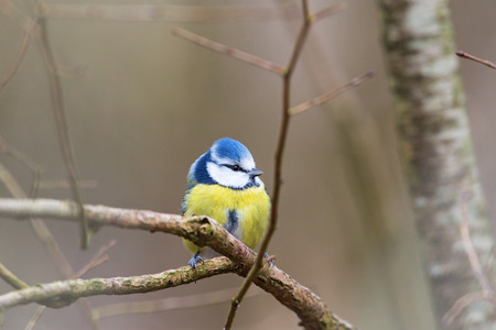 blue tit: Blue tit sitting on a branch in the tree
