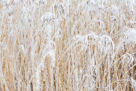 clump: Clump of reeds with frost in winter