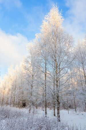 hoarfrost: Birch forest in winter with hoar frost and snow