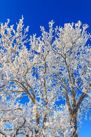 hoarfrost: Tree with hoarfrost in winter