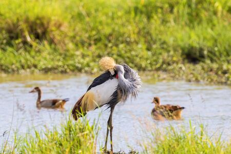 Grey Crowned Crane preening himself at a watering hole Stock Photo
