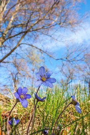 Flowering Anemone flowers in a meadow in spring