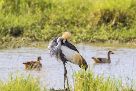 crowned crane: Grey Crowned Crane preening himself on the beach