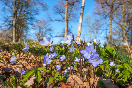 low angle views: Anemone hepatica flowers in a meadow in spring