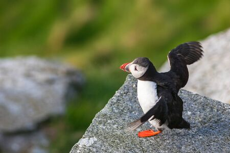 Puffin on a rock Stock Photo