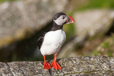 Puffin bird on a rock