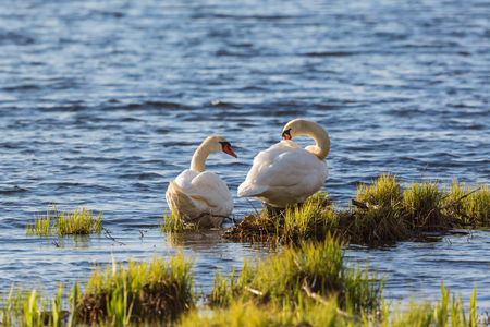 waters edge: Mute swan couple preening themselves at the waters edge Stock Photo