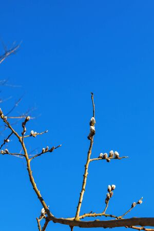 great sallow: Flowering Pussy willow against blue sky