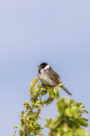sitt: Treetop with a sitting Reed Bunting Stock Photo