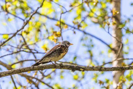 sitt: Fieldfare on a branch in spring woods