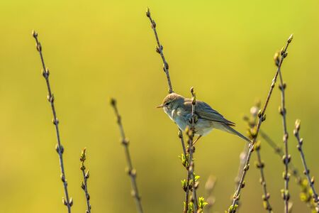 sitt: Willow warbler sitting on a tree branch Stock Photo