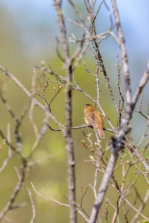 sitt: Sedge Warbler sits and sings on a branch in the tree