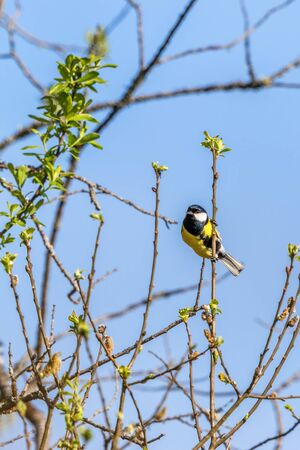 sitt: Great tit on a branch in the tree Stock Photo