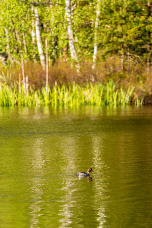 common reed: Goldeneye female in a forest lake Stock Photo