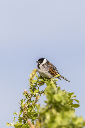 sitt: Reed bunting is in a branch top