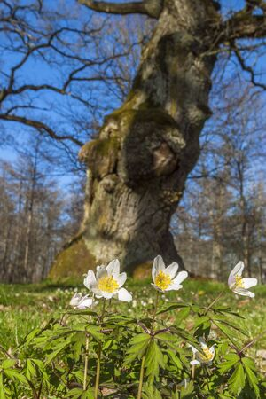 Flowering wood anemones at an old oak tree Stock Photo