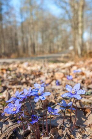 Early liverwort flowers in spring