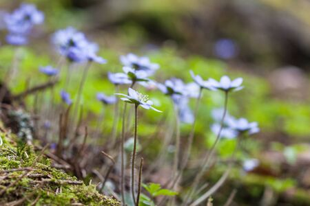 liverwort: Blossoming hepatica flower in early spring