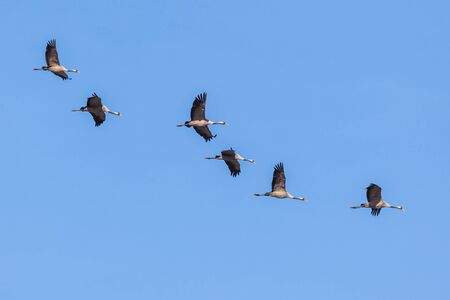 natue: Cranes flying against a blue sky Stock Photo