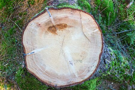 graining: Spruce Stump on a clearcut area Stock Photo