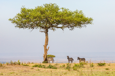 Zebras standing in the shade under a tree on the savannah Stock Photo