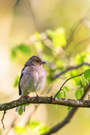 Chaffinch on a branch in the spring