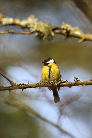 Great tit on a tree branch in spring