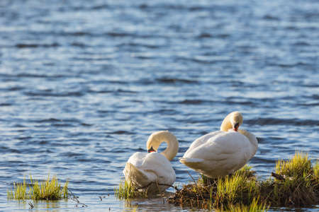 Mute swan pair preening themselves at the shore