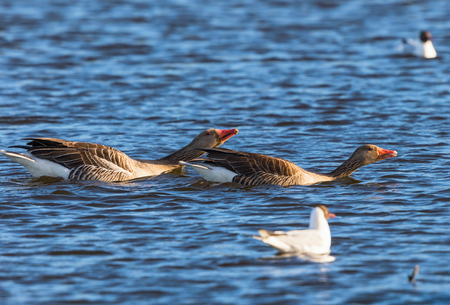 Greylag geese in the mating ritual in spring Stock Photo